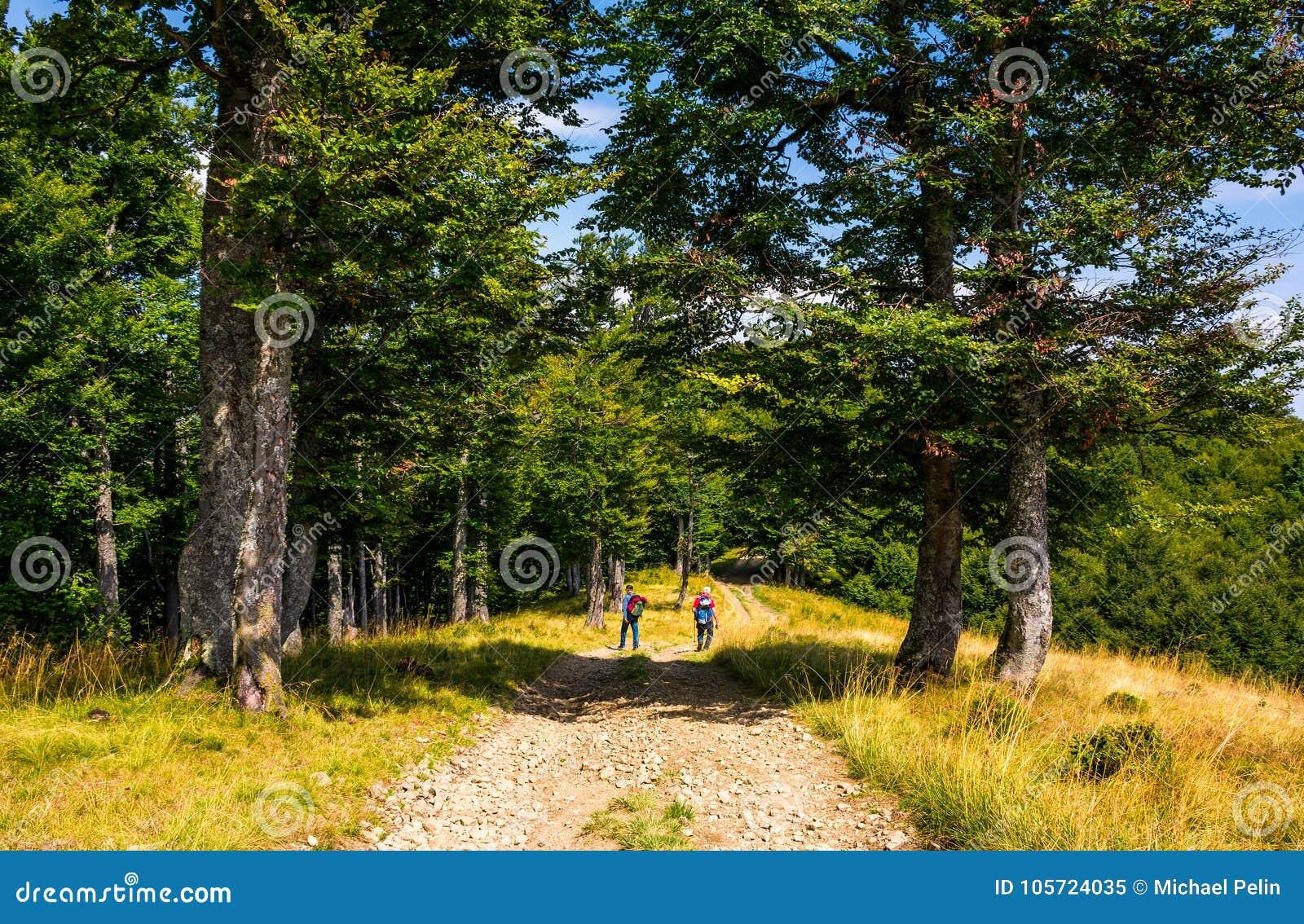 Turyści na drodze gruntowej przez bukowego lasu