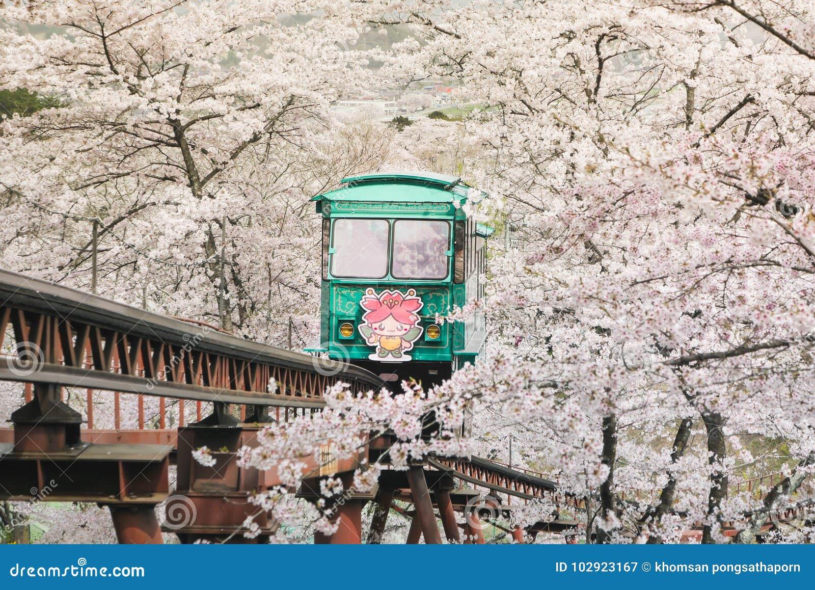 Turyści przychodzący funaoka Sendai w Japonia doceniać piękno czereśniowi okwitnięcia i czekać w górę tramwaju główna atrakcja są