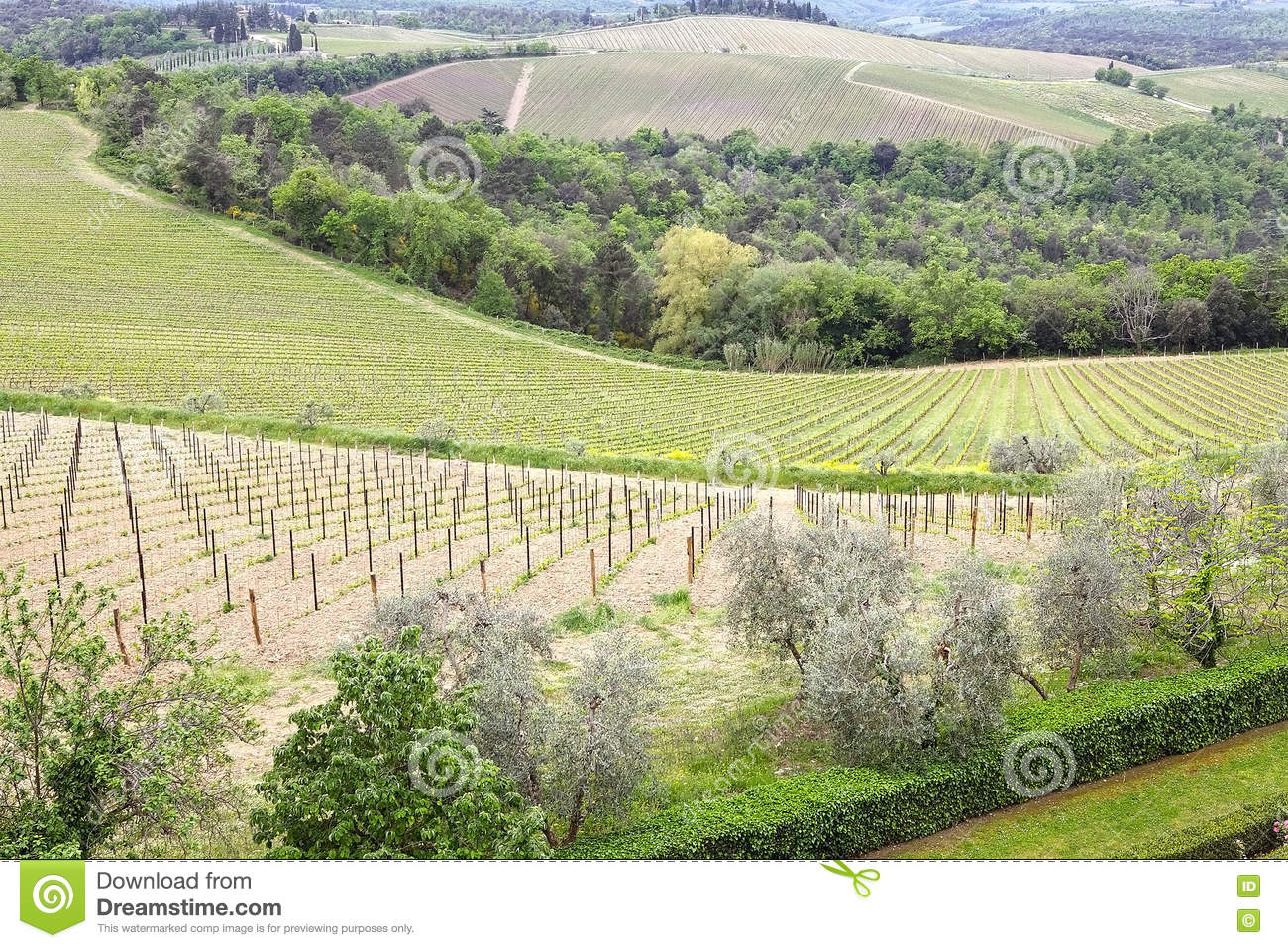 Tuscan wineyards