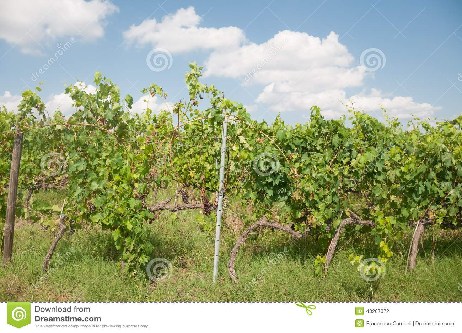 Download Tuscany vingård arkivfoto. Bild av utomhus, lantligt - 43207072