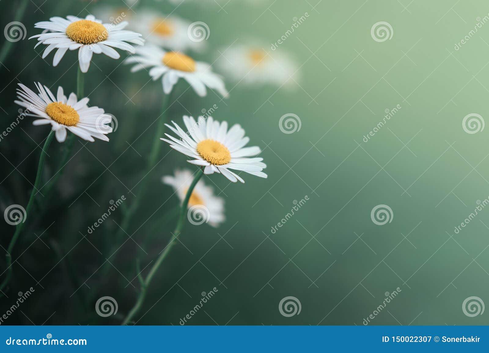 Tusenskönablomma i det gröna grunda djupet för gräs av fältet Den h?rliga tusensk?nan blommar i natur