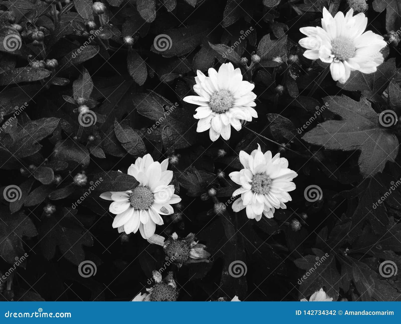 Tusenskönablomma i svartvitt