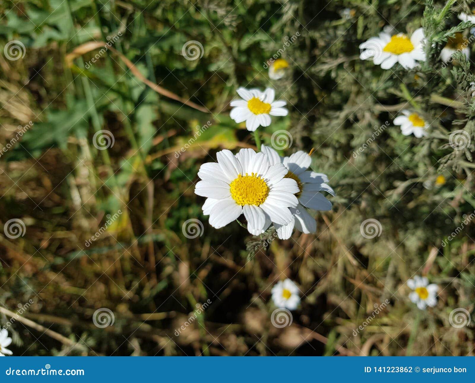 Tusenskönablommadetalj med dess vita kronblad som mottar solljus på en bakgrund av gröna sidor och andra tusenskönablommor