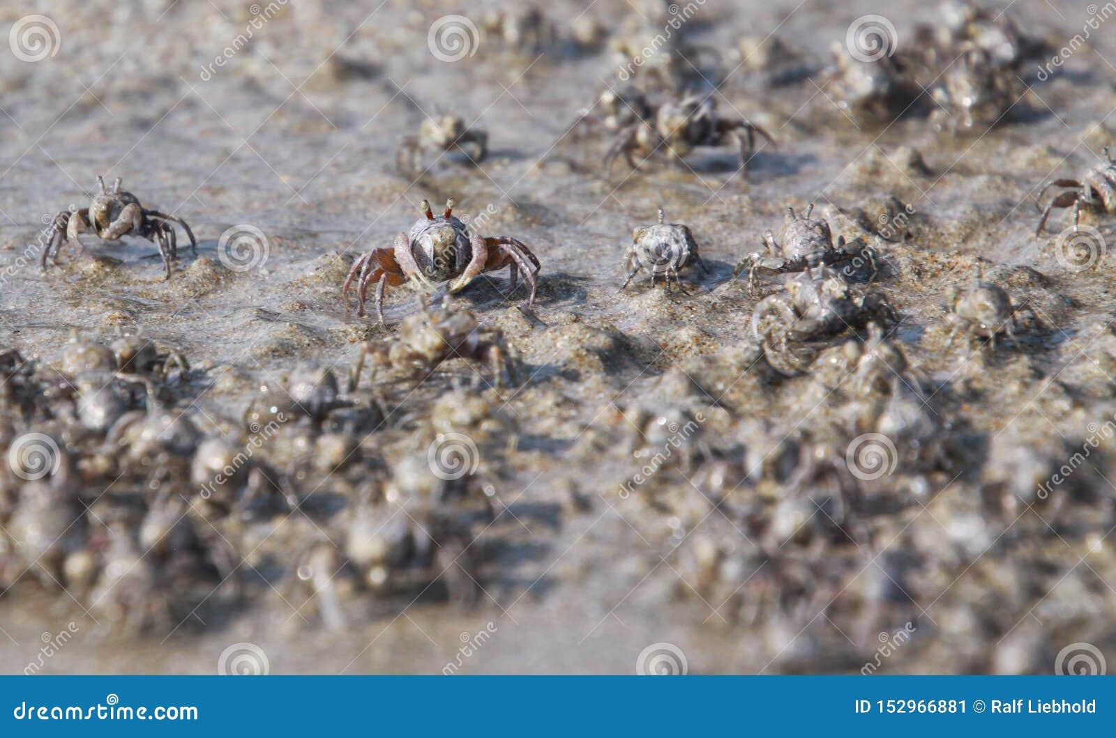 Tusentals mycket små sandbubblerkrabbor flockas från stranden in i vatten på den tropiska ön Ko Lanta