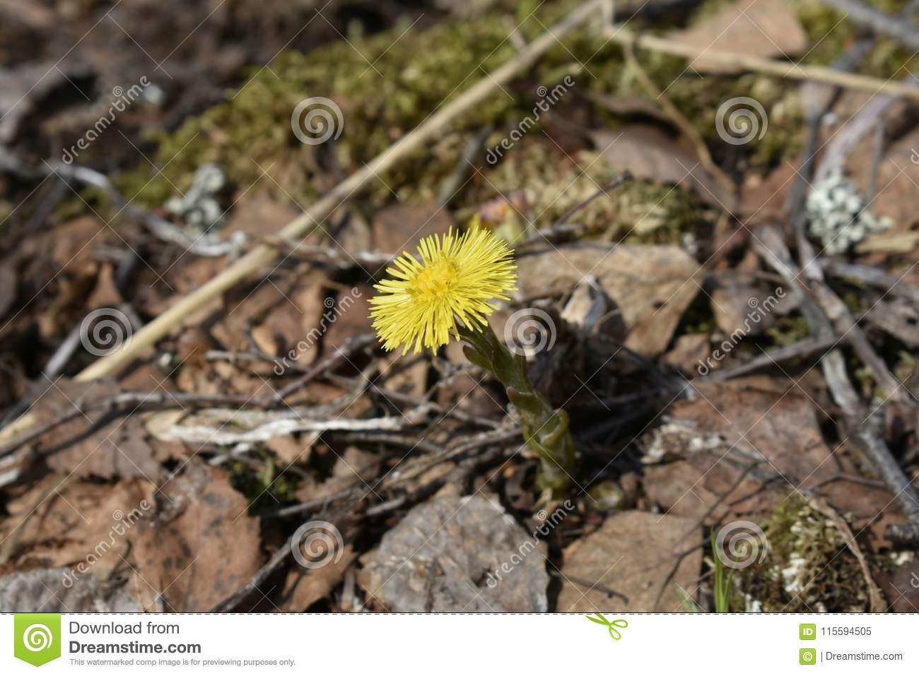 Tussilago farfara is the only accepted species in the genus Tussilago
