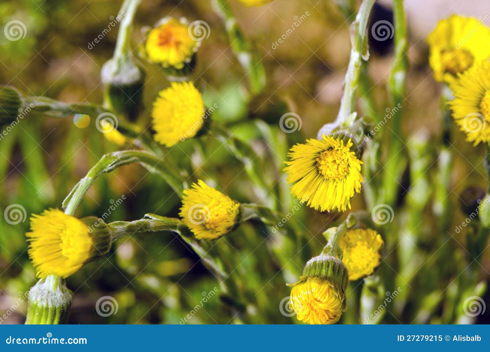 Tussilagot (Tussilagofarfara) blommar i fjäder