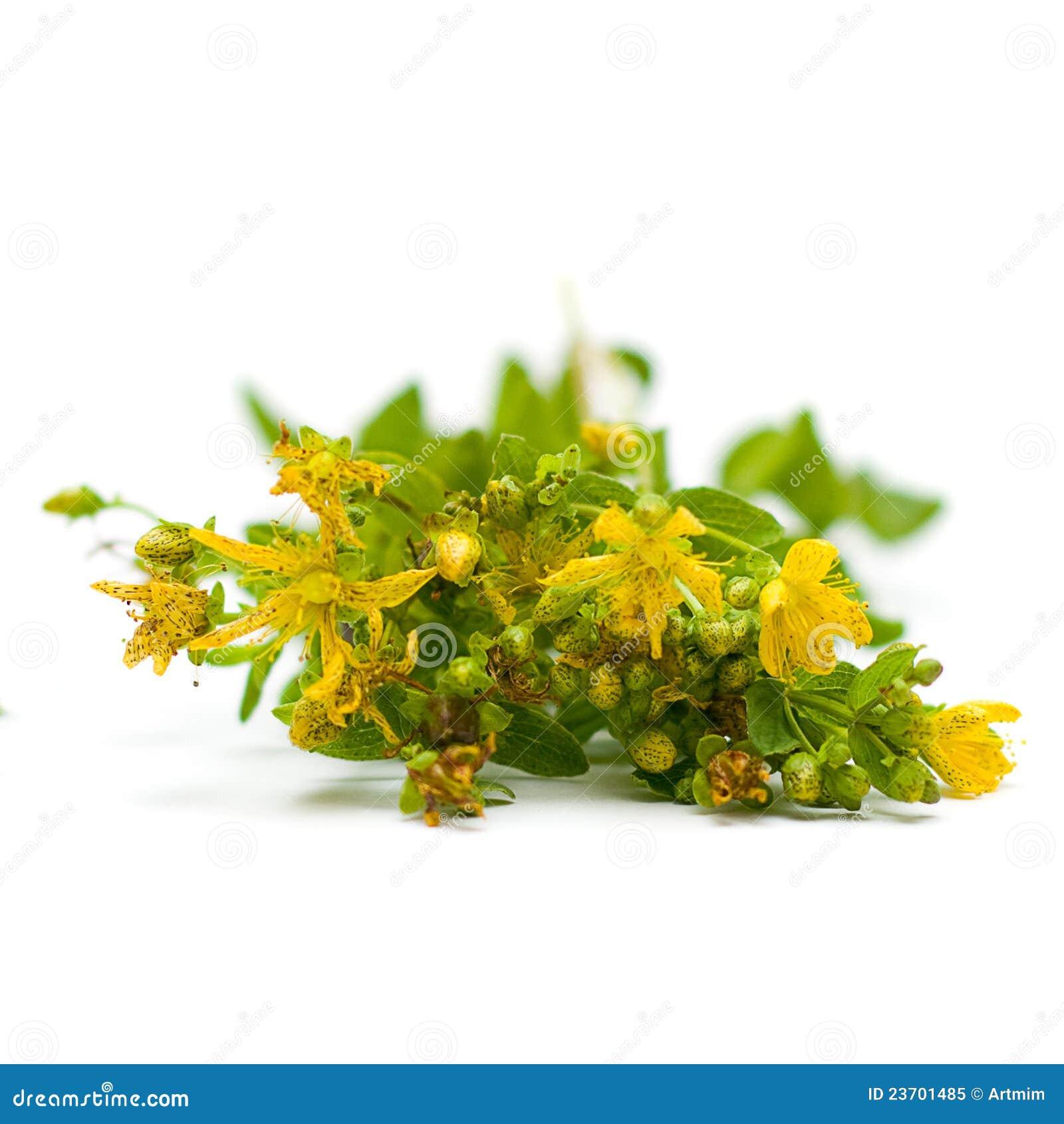 Tutsan (Santo-Juan-mosto), hierbas medicinales