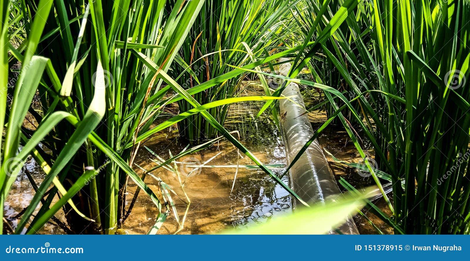 Tuyau de pompe à eau dans le domaine de riz