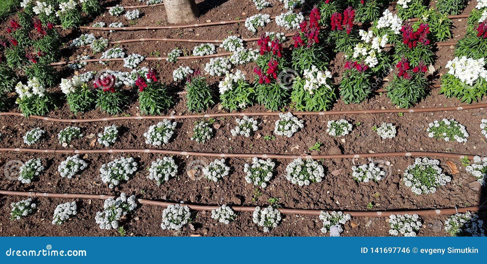 Tuyaux de système d irrigation par égouttement au sol
