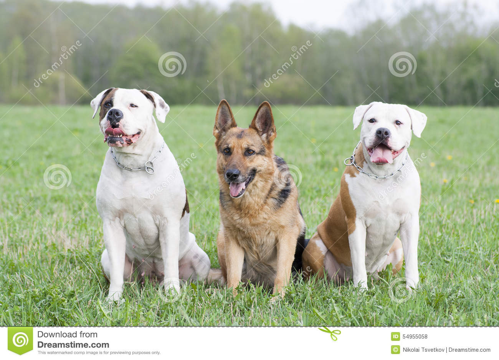 Två amerikanska bulldoggar och en tysk fårhund