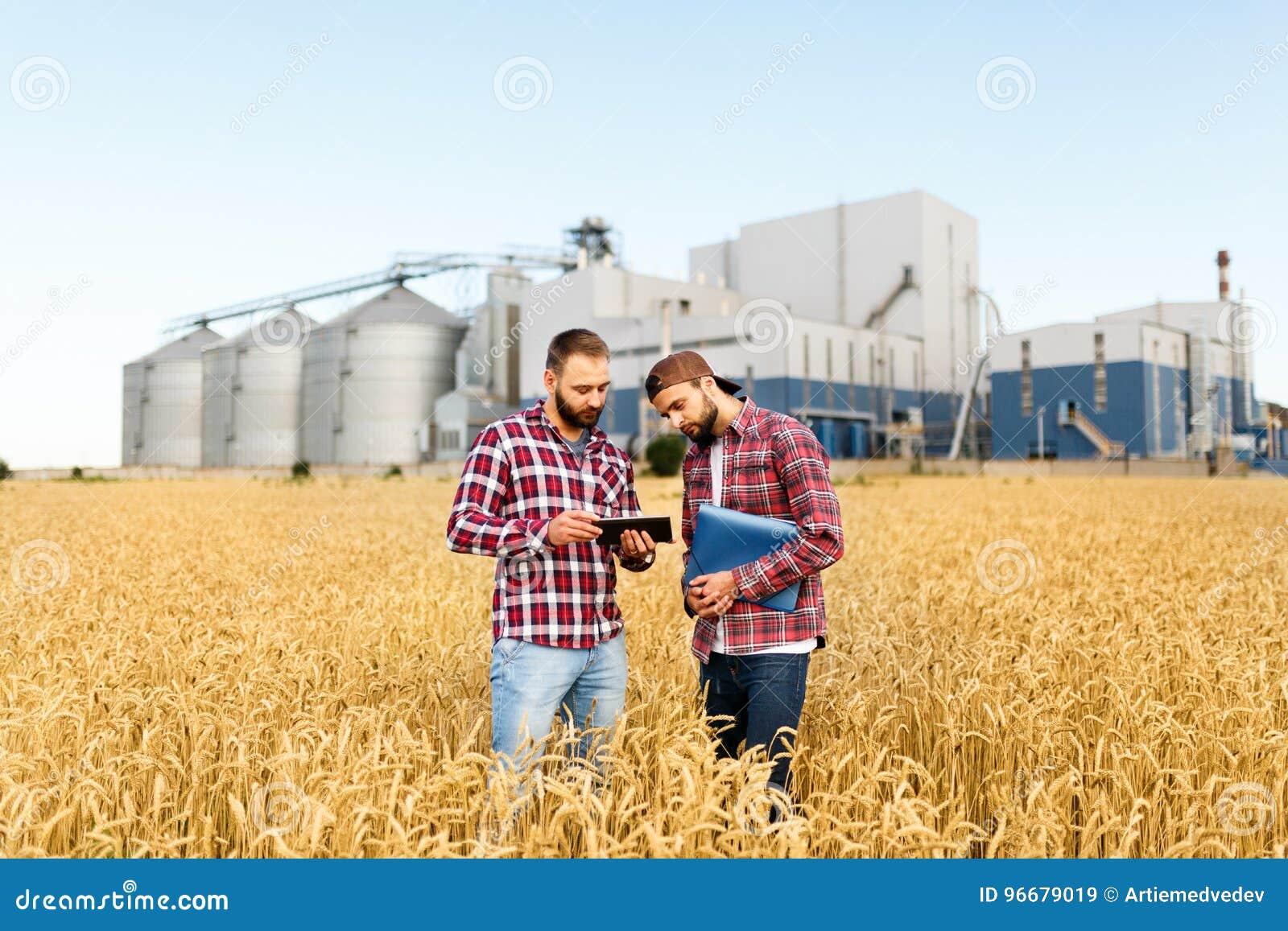 Två bönder står i ett vetefält med minnestavlan Agronomer diskuterar skörden och skördar bland öron av vete med korn