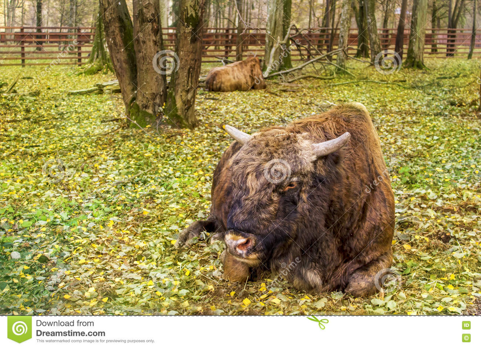 Två bisontjurar i nationalparken Bialoweza, Polen, Eastern Europe