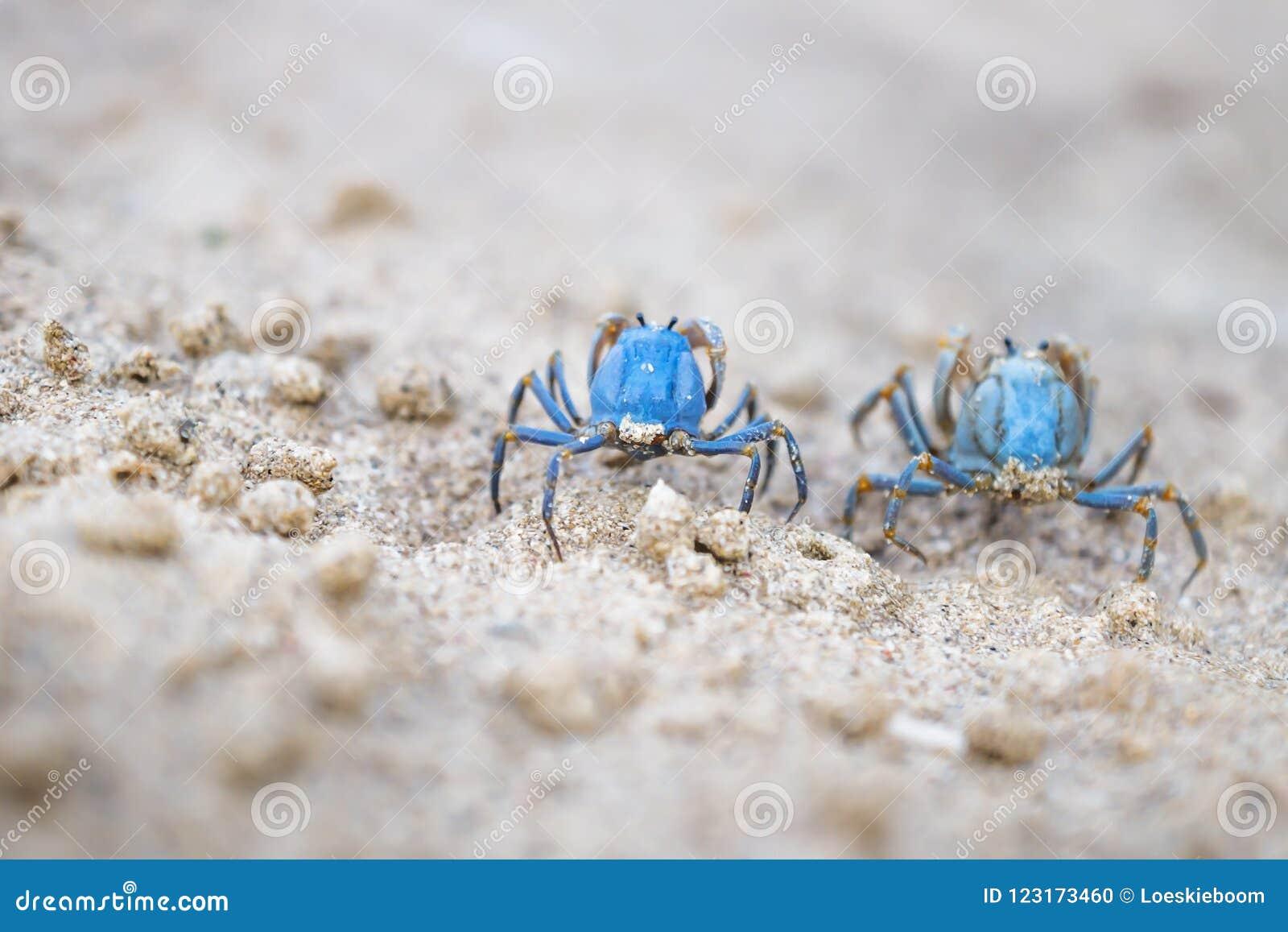 Två blåa krabbor på den vita stranden av Siquijor, Filippinerna, Asien