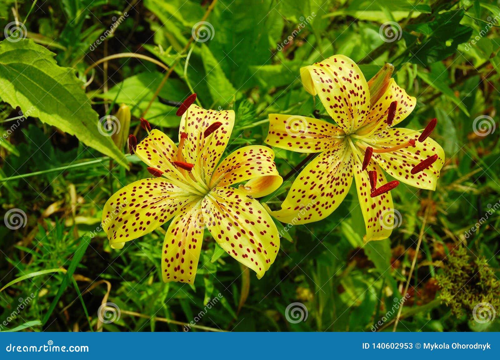 Två blommor av en gul daylily med mörka punkter