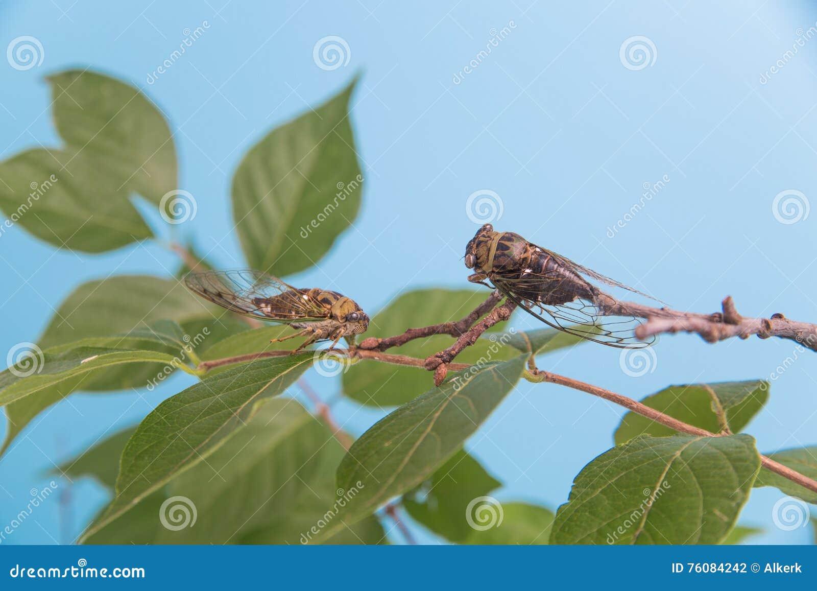 Två cikador på en lövrik filial