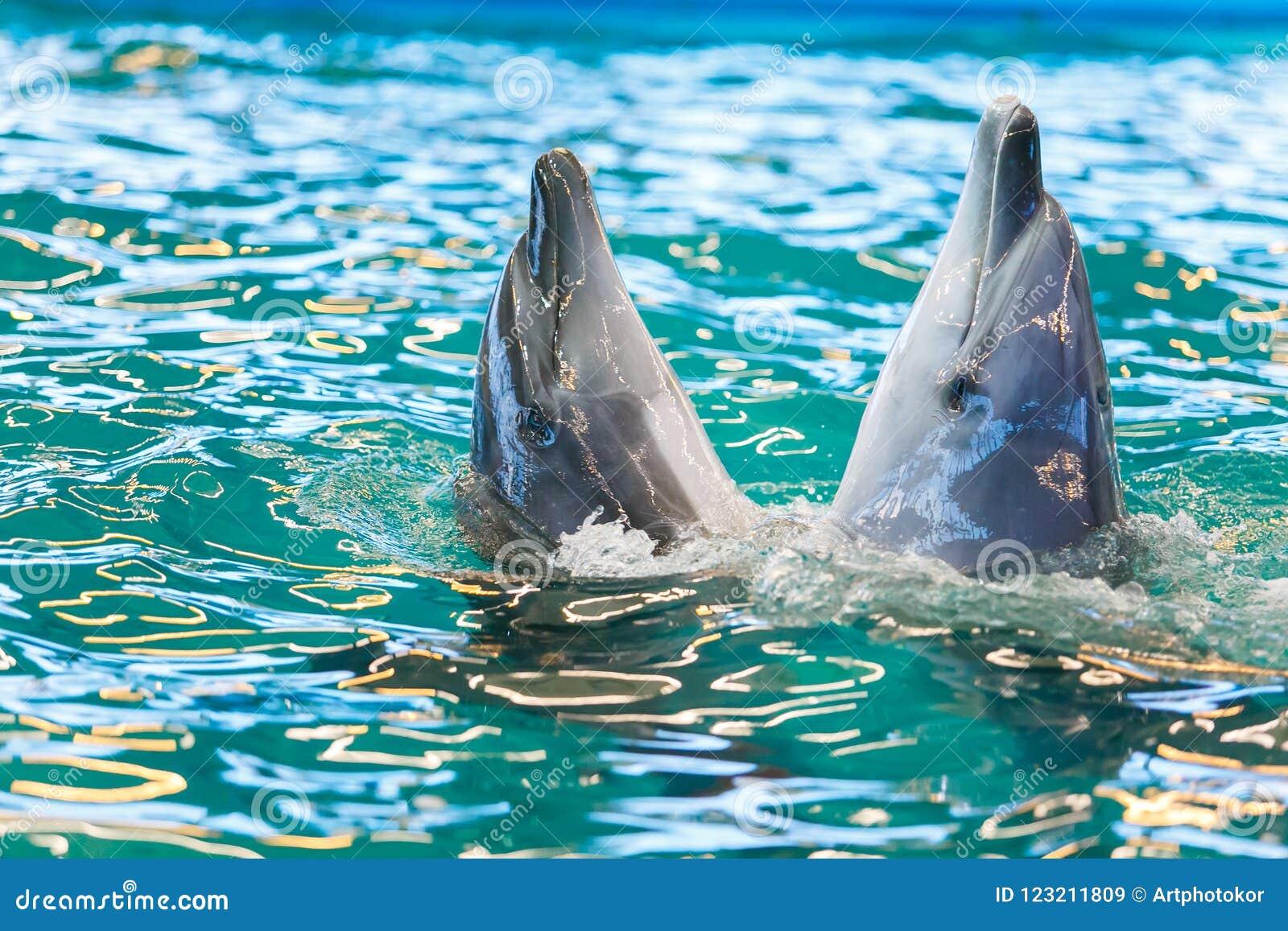 Två delfin som dansar i blått vatten