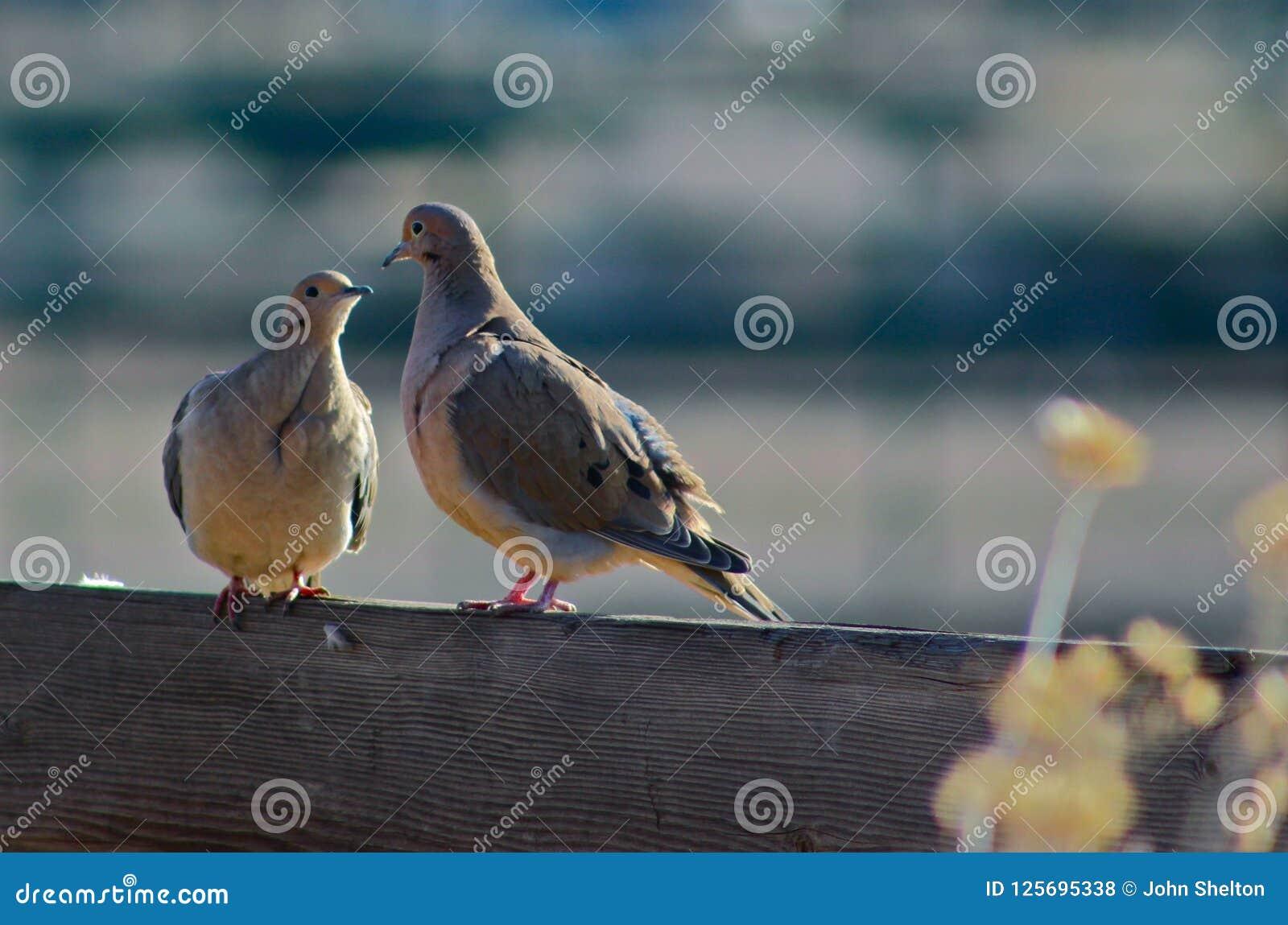 Två duvor på ett staket