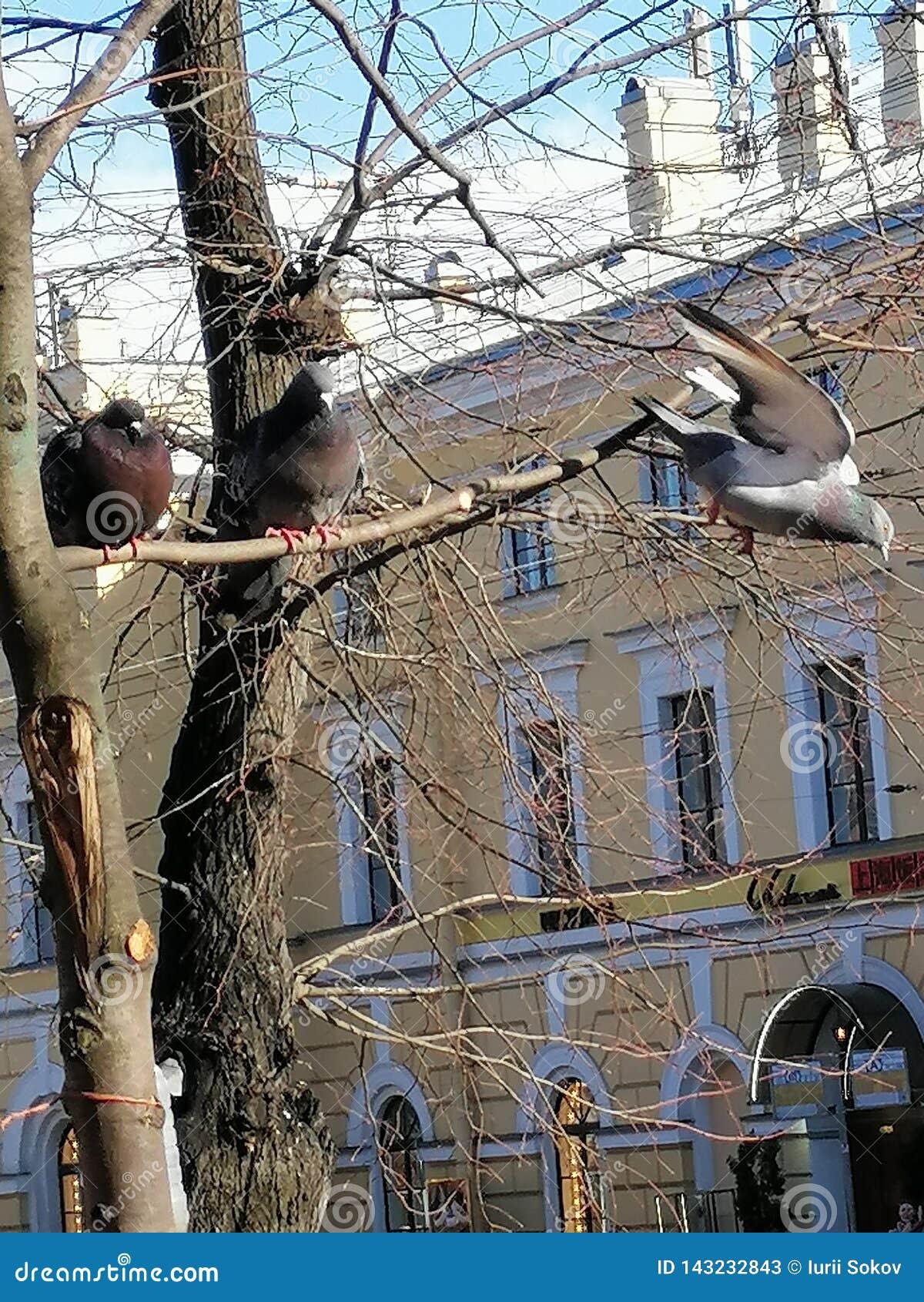 Två duvor på trädet, tredje flyger