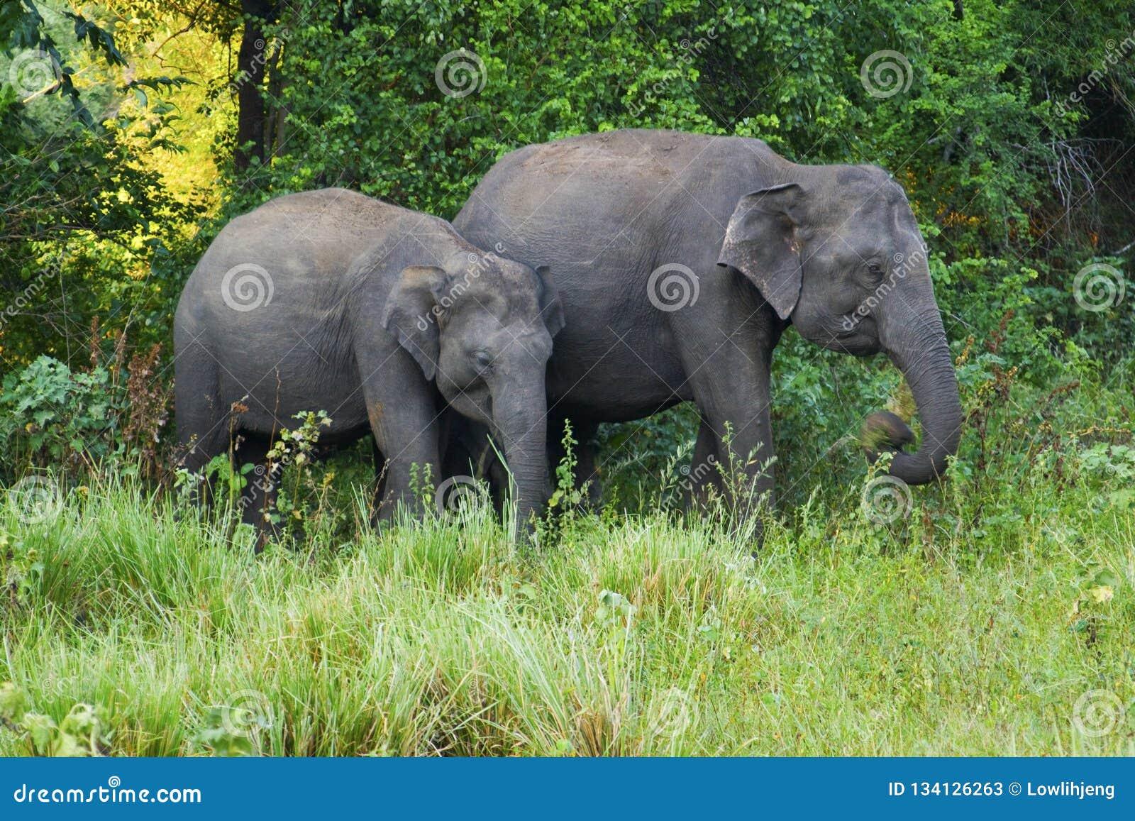 Två elefanter i en skog