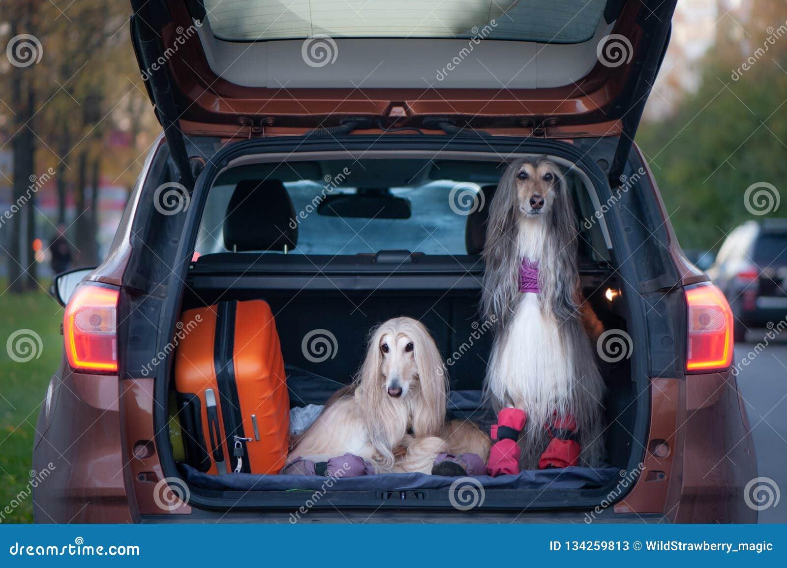 Två eleganta afghanska hundar i bilen,