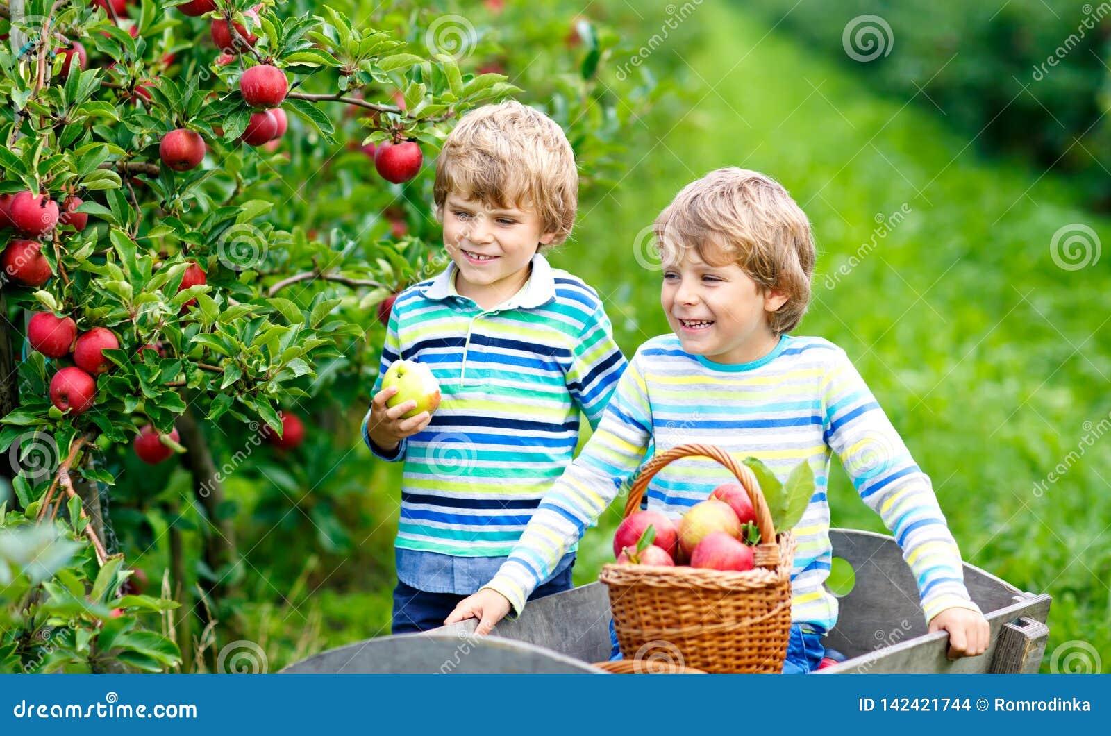 Två förtjusande lyckliga pojkar för små ungar som utomhus väljer och äter röda äpplen på den organiska lantgården, höst Roligt li