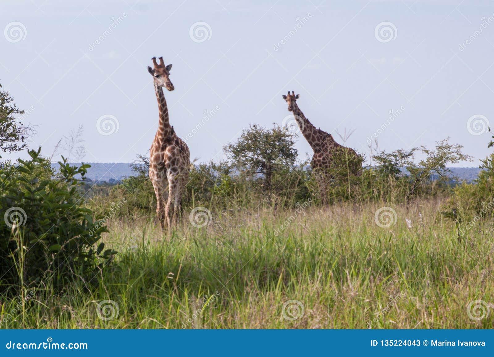 Två giraff i afrikansk savann