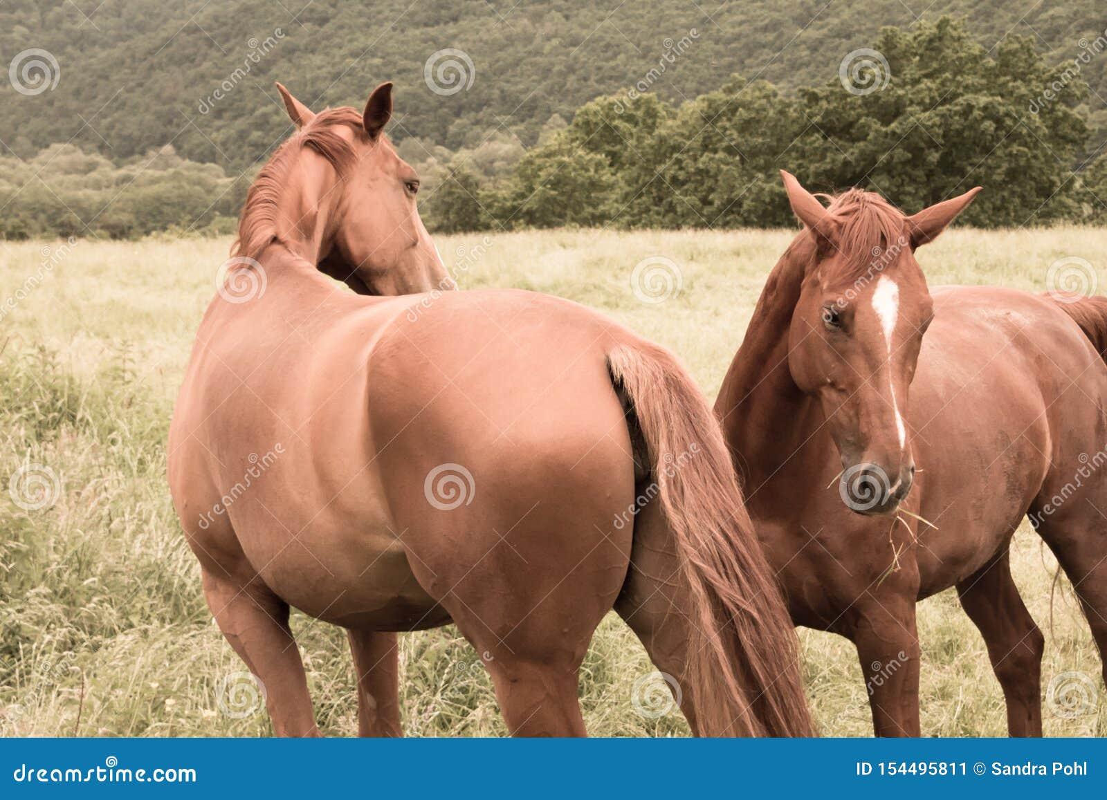 Två hästar äter gräs i betar