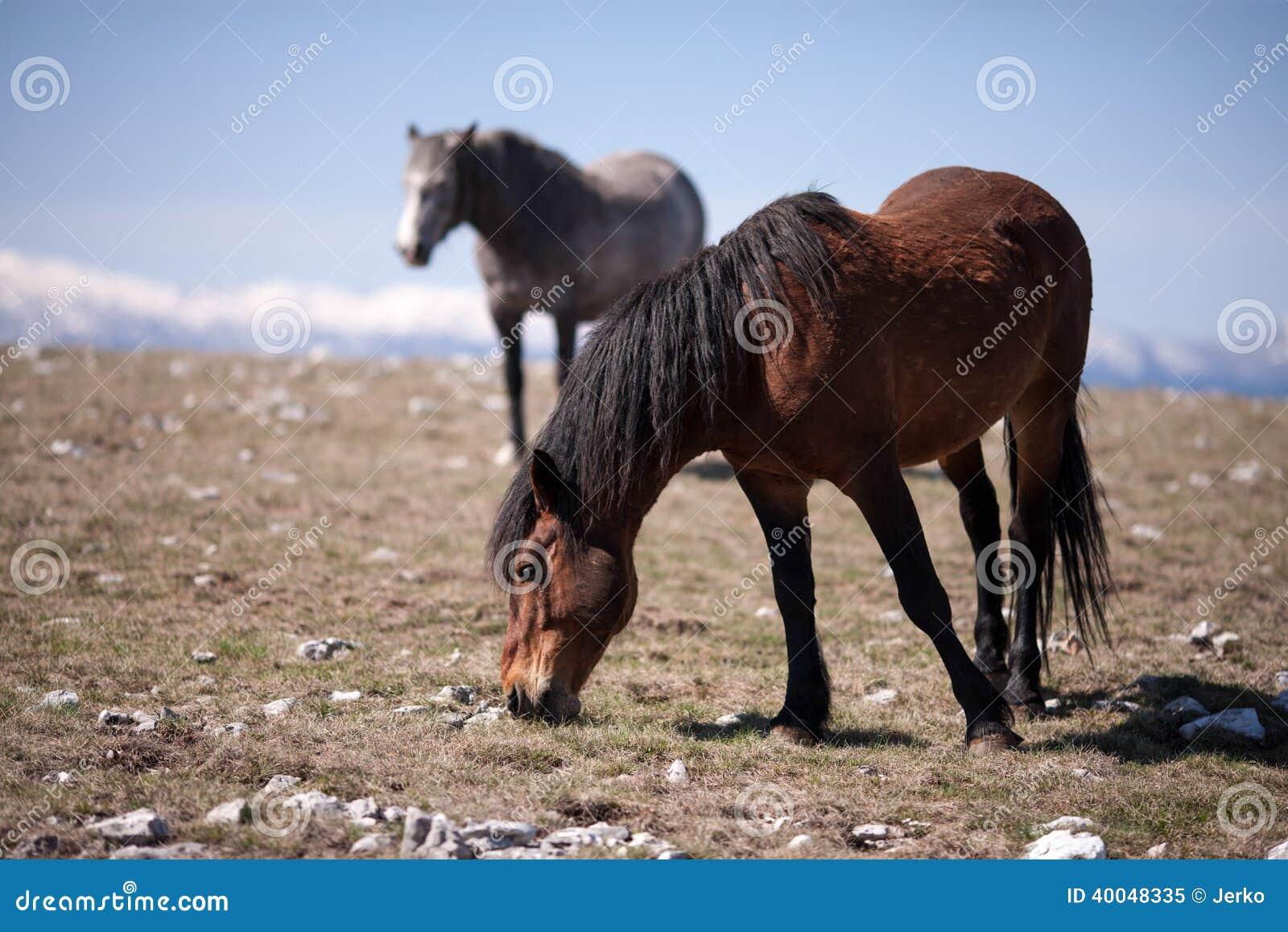 Två hästar i fältet