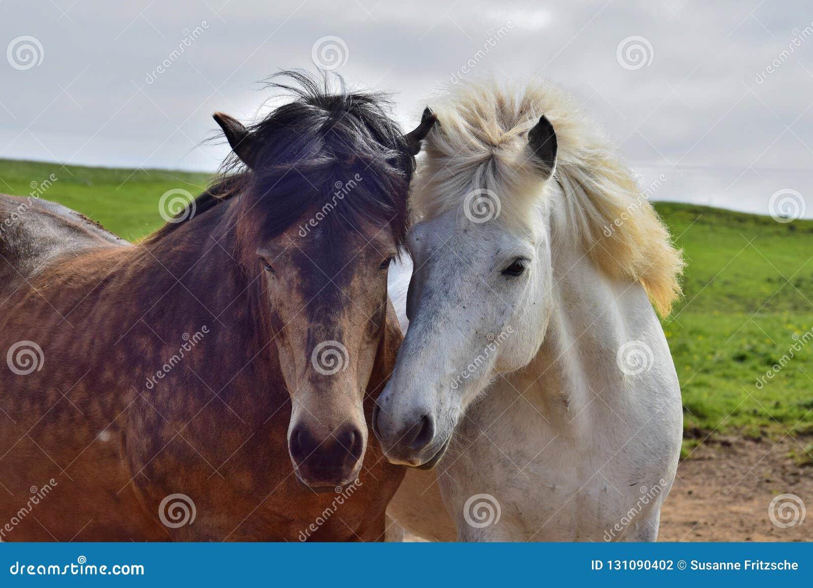 Två isländska hästar satte deras huvud i kamratskap tillsammans