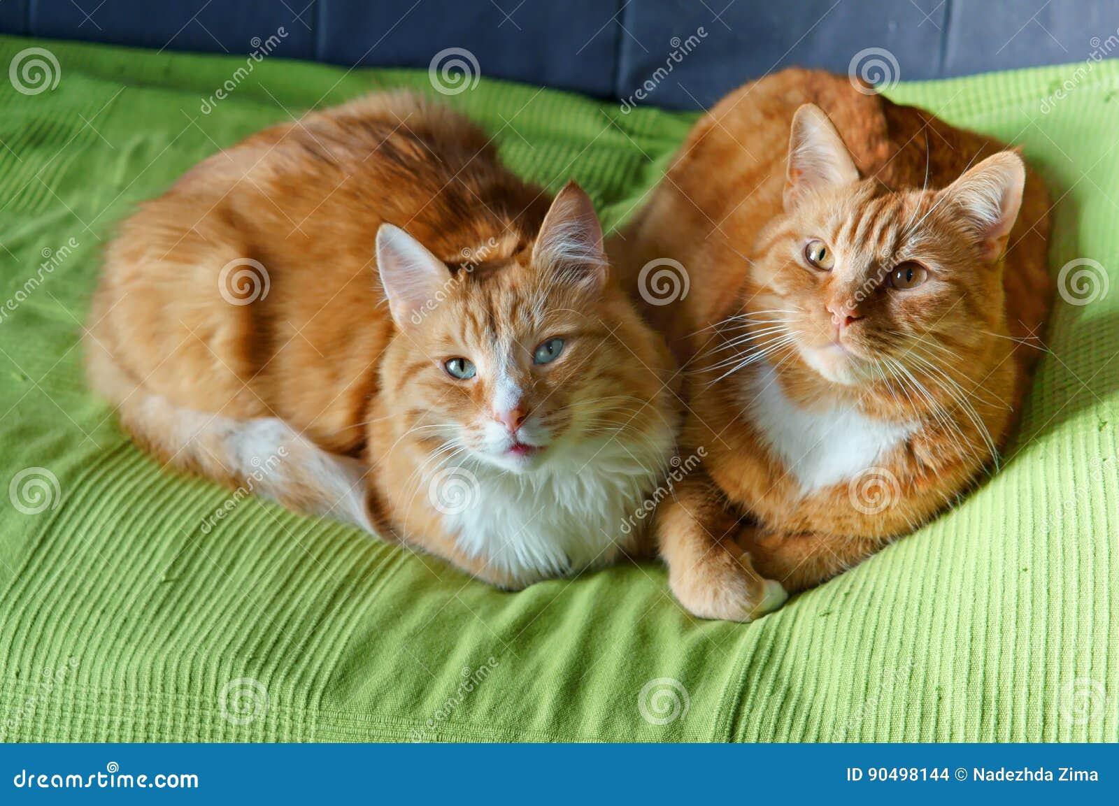 Två katter, rött, hem- som är mjuka, smekning, förälskelse, fruktdryck