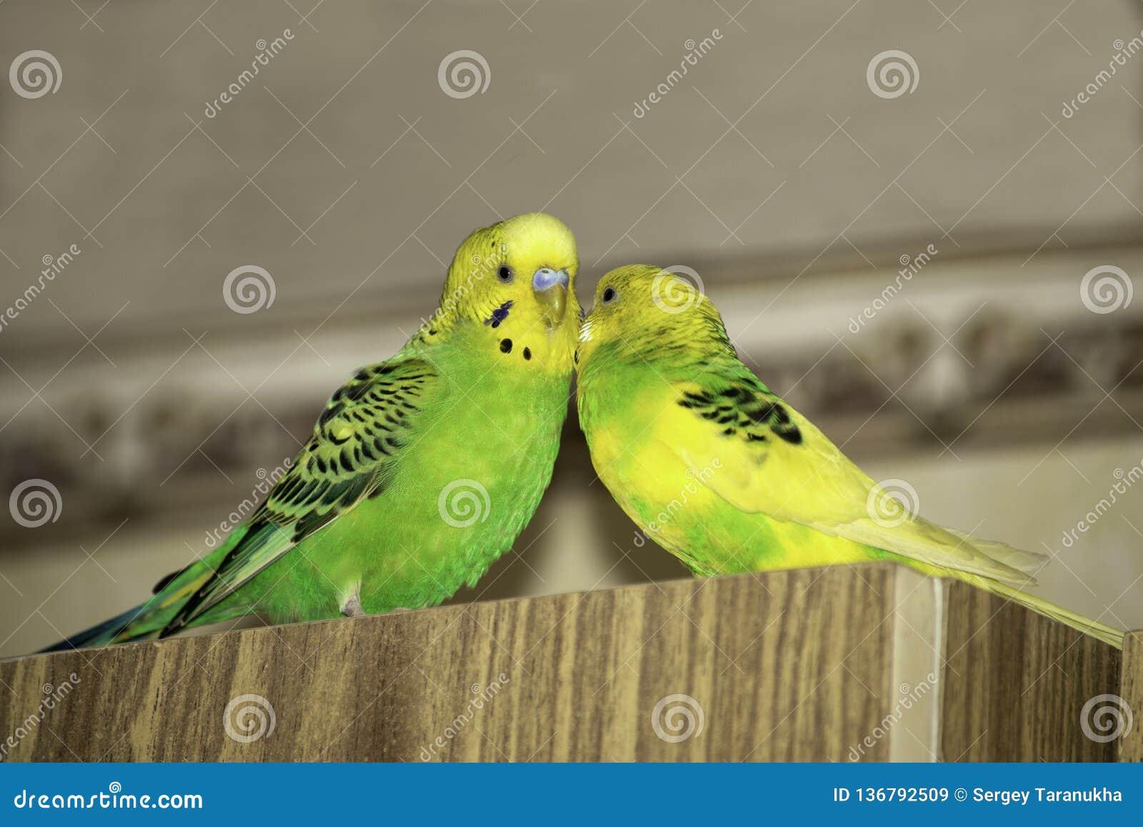 Två krabba papegojor sitter på garderoben