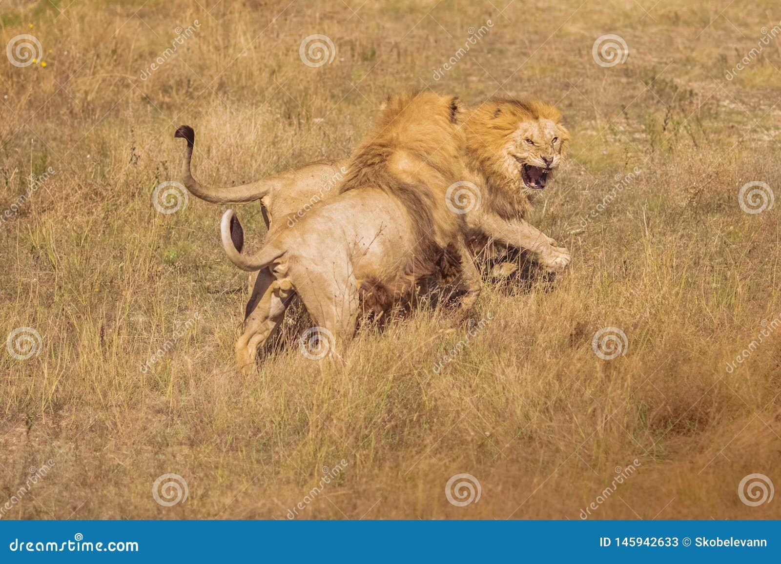 Två lejon som slåss i det löst