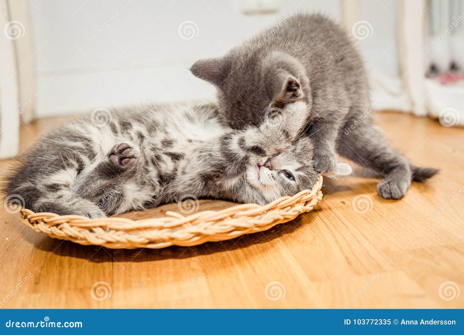 Två lilla gulliga gråa kattungar som spelar på golvet