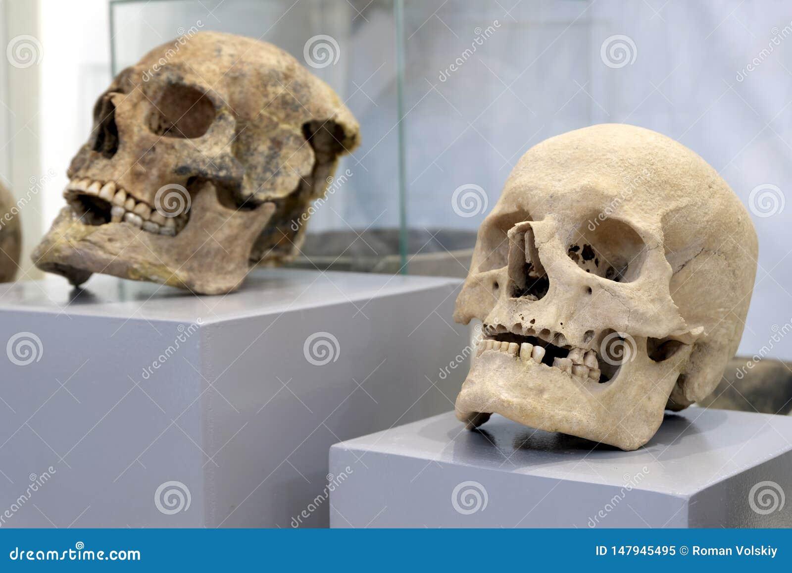 Två mänskliga skallar på gråa kustfartyg Lagerföra för att fira all helgondag, allhelgonaafton eller en natt på museet