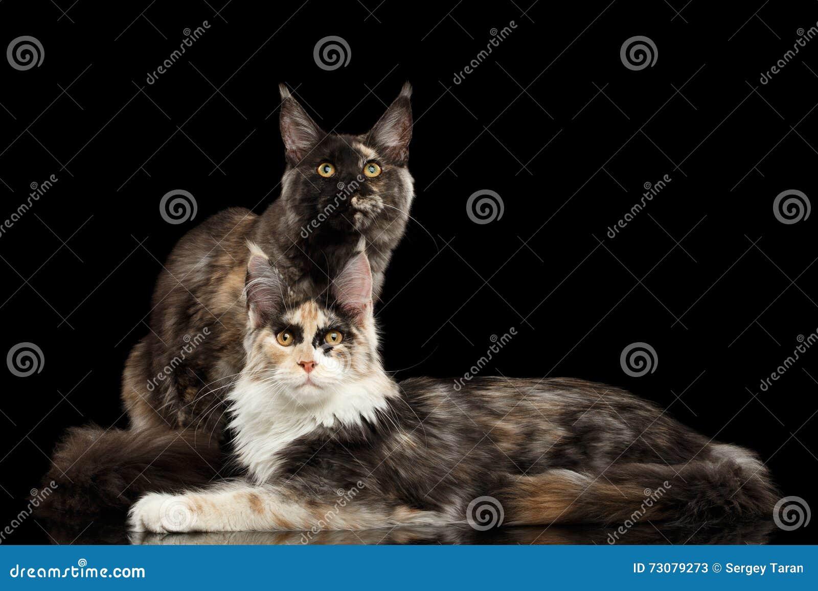 Två Maine Coon Cats Lying som in camera ser, svart