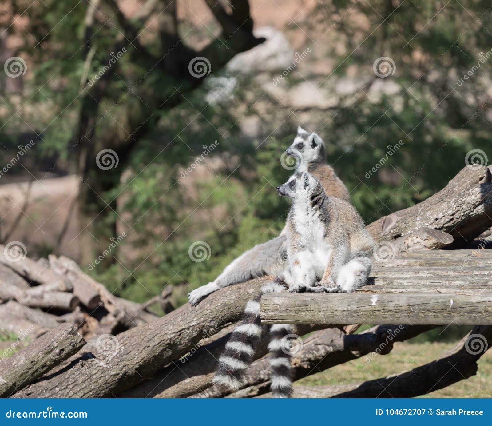 Två makier som kopplar av i solen i zoo