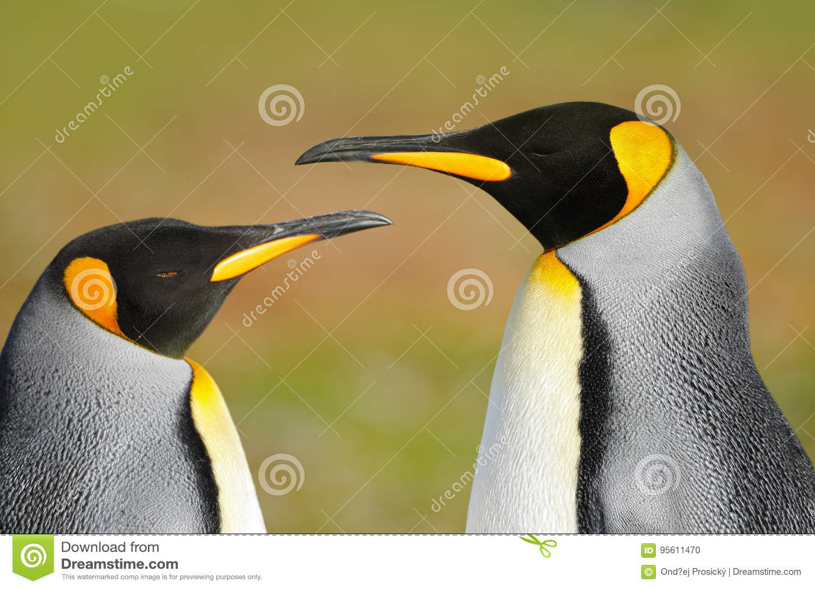 Två pingvin Kel för par för konungpingvin, lös natur, grön bakgrund Två pingvin som gör förälskelse I gräset Djurlivplats