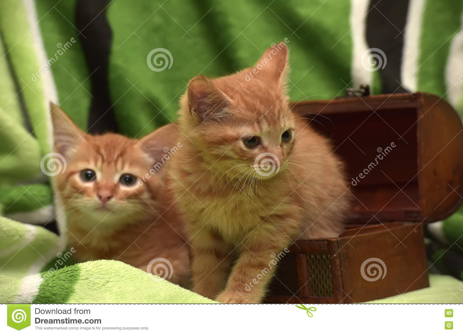 Två röd kattunge och ask