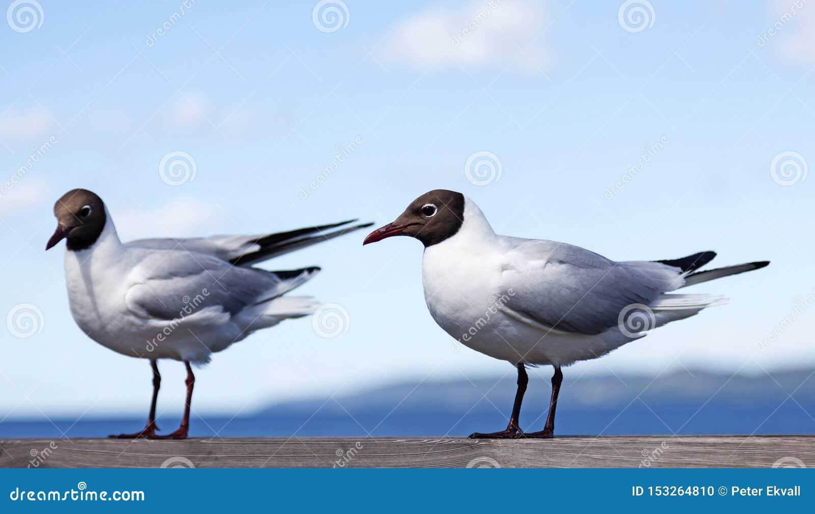 Två seagulls som sitter på en träräcke