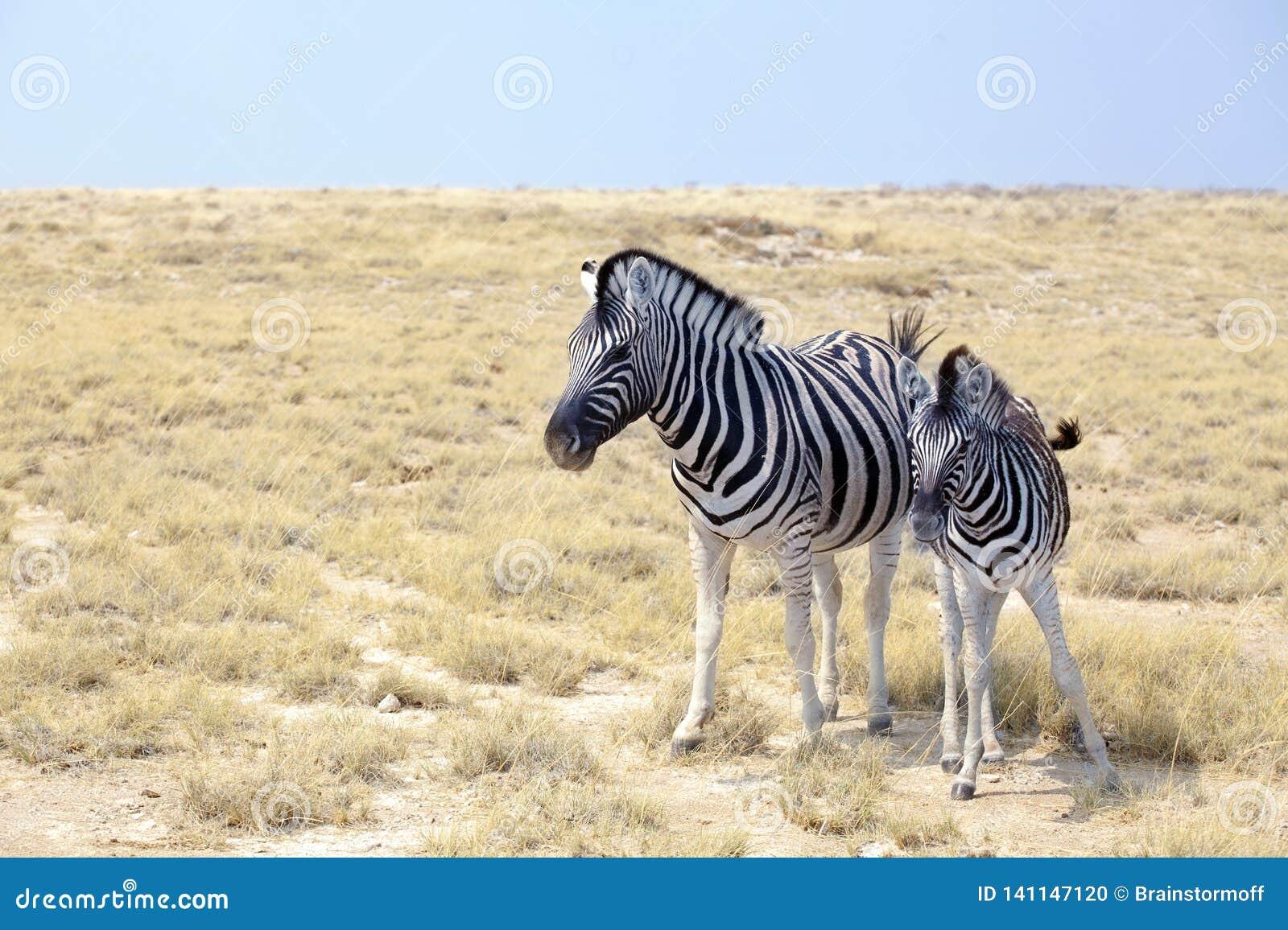 Två sebror står bredvid de closeupen i savann, safari i den Etosha nationalparken, Namibia, sydliga Afrika