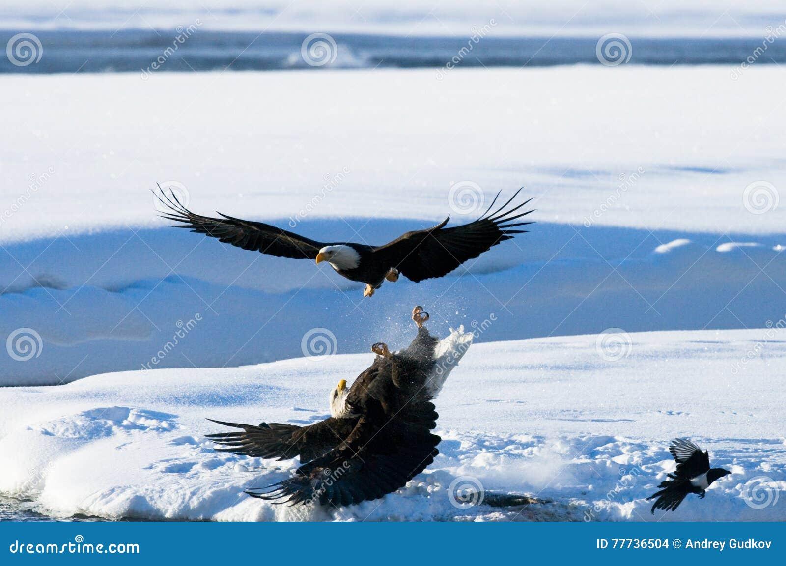 Två skalliga örnar slåss för rov USA _ Chilkat flod