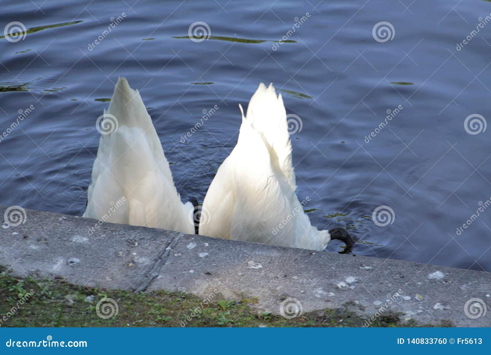 Två svanar fällde ned deras huvud som var djupa in i vattnet