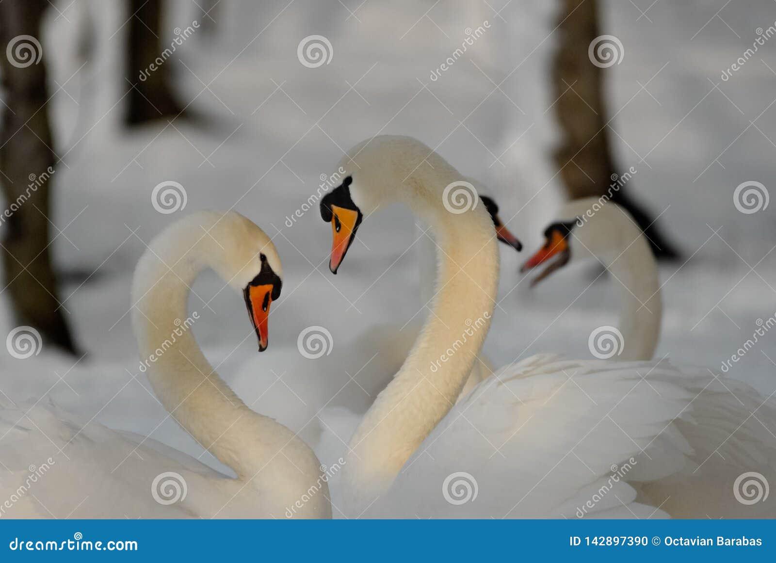 Två svanar som bildar en hjärta med deras halsar