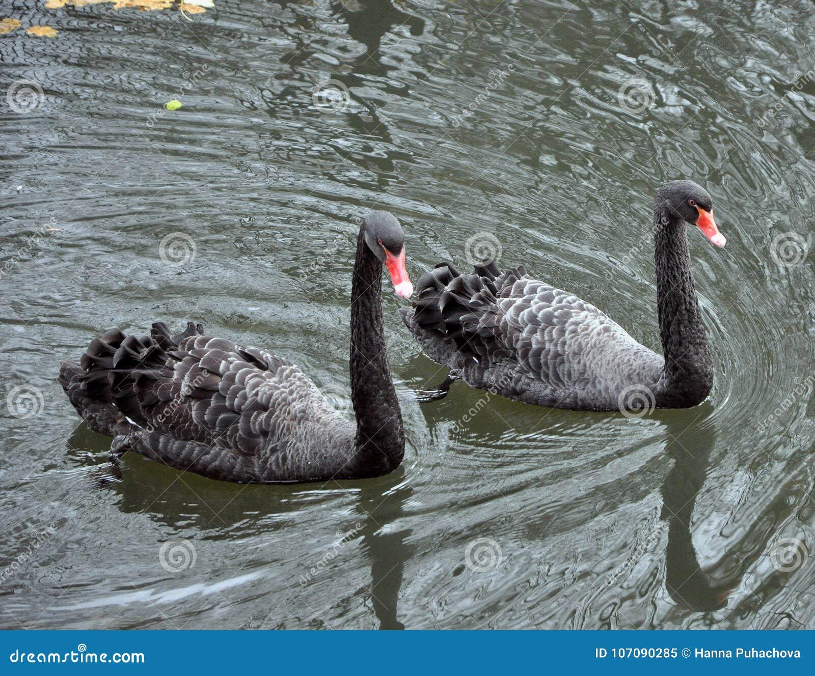 Två svarta svanar som svävar på sjön