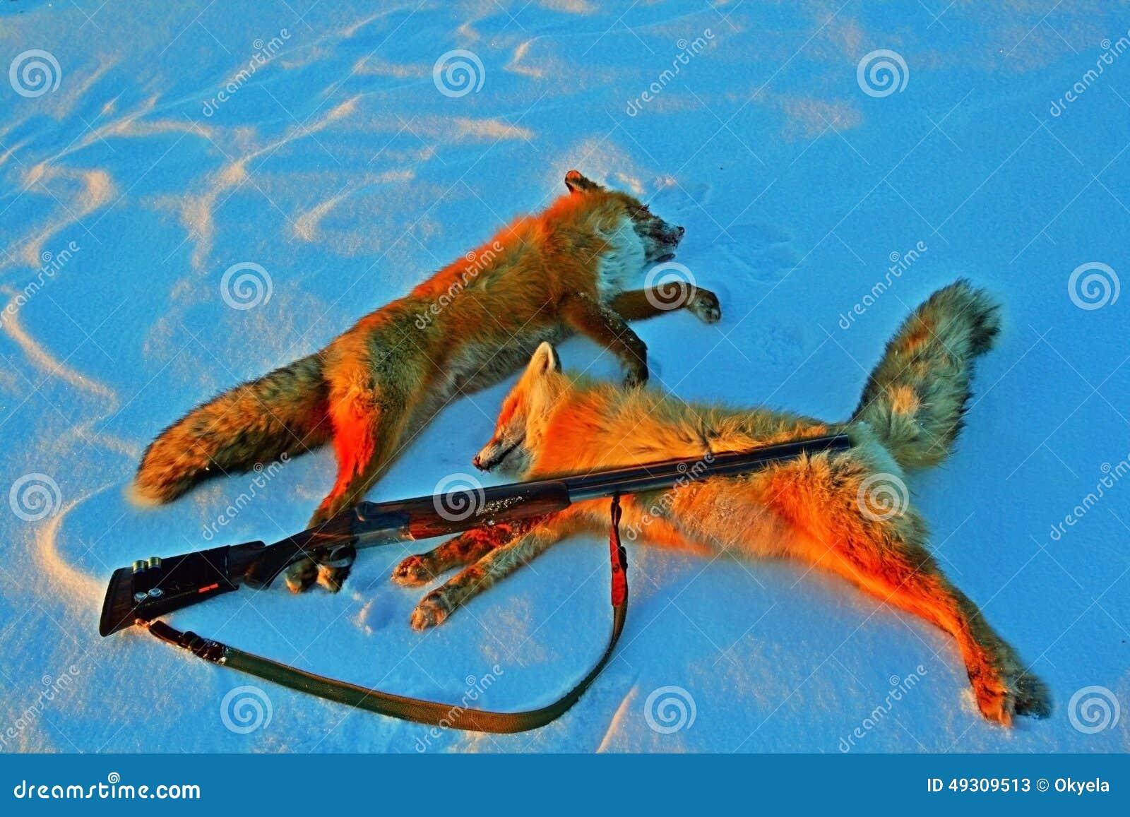 Två troférävar och vapnet i vintern på snö, når att ha jagat