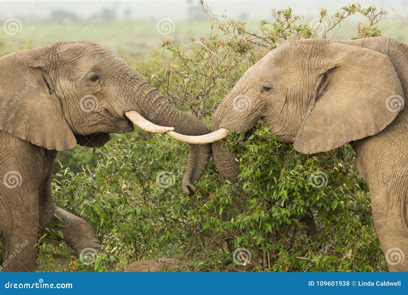 Två unga elefanter som spelar i Kenya