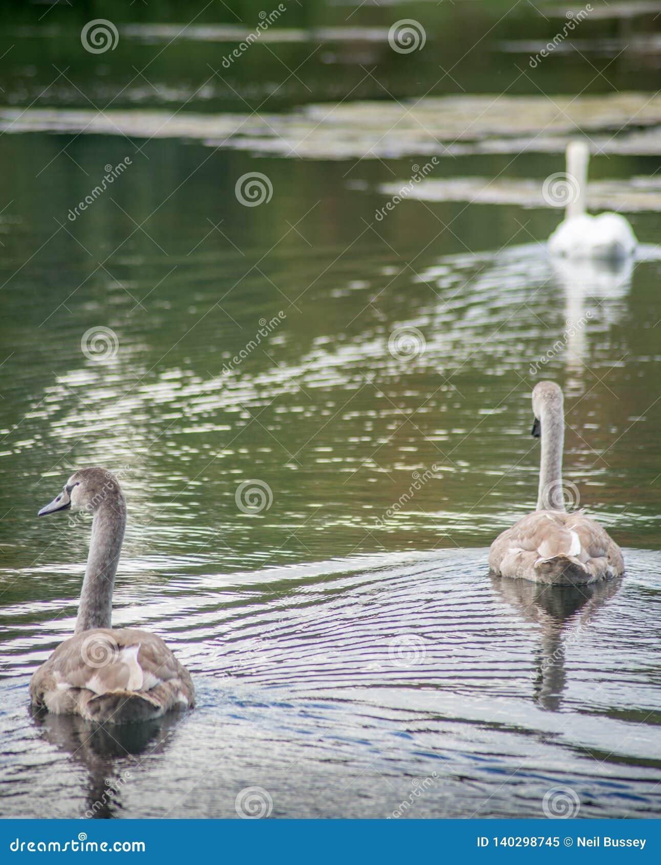 Två unga signet som följer den vuxna svanen