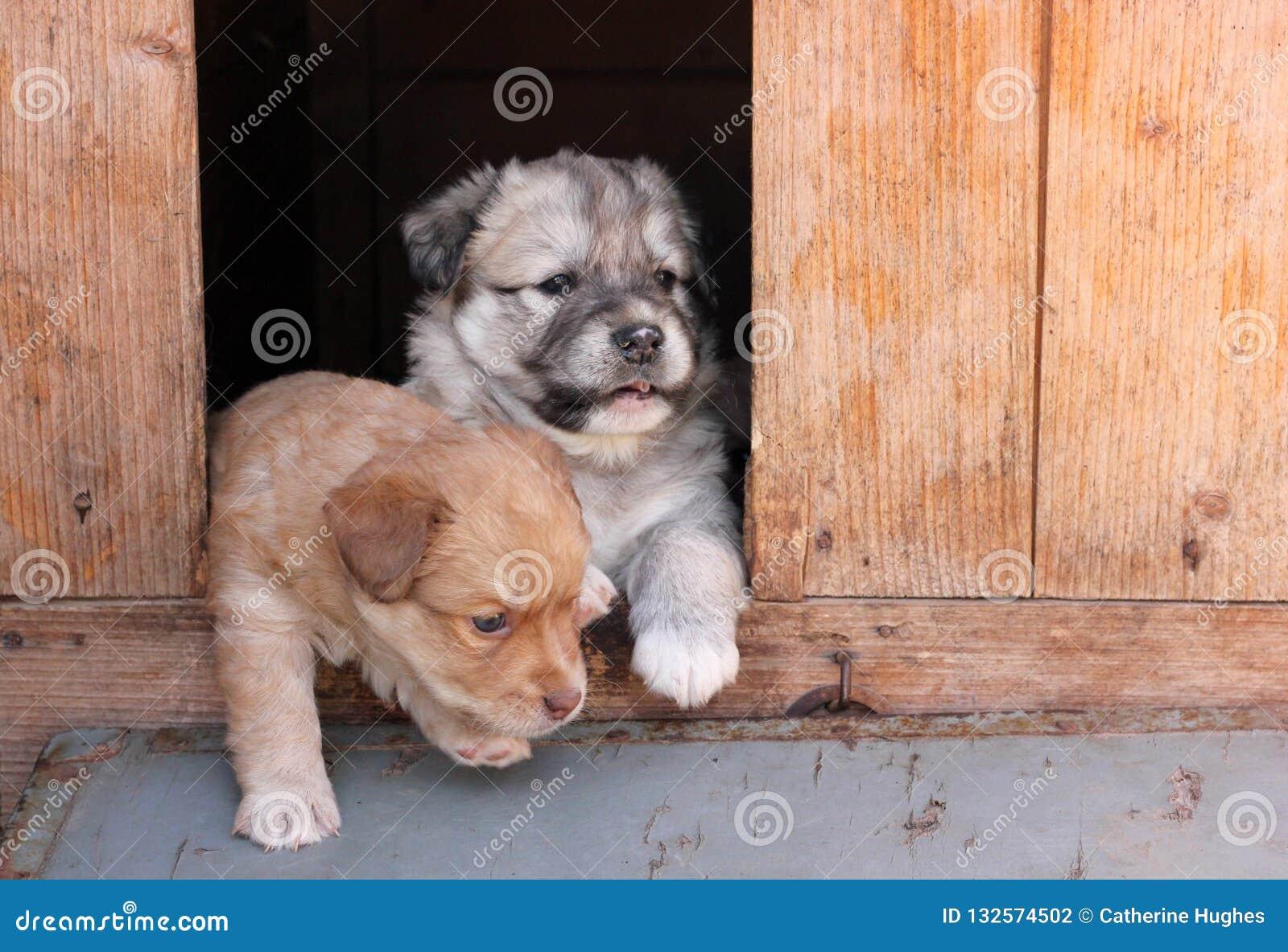 Två valpar som kikar ut ur en hundkoja