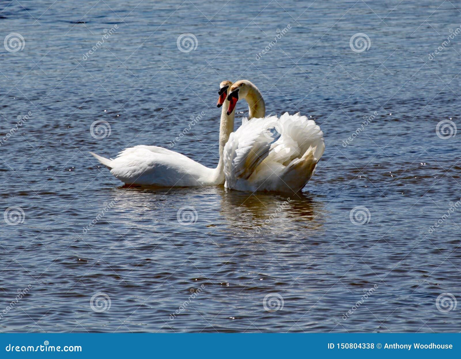 Två vita svanar att bli nästan på flodyxabreda flodmynningen i Devon
