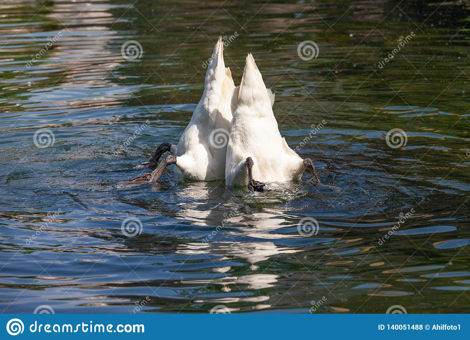 Två vita svanar att klibba deras svansar ut ur vattnet